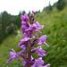 """Knabenkraut """"orchis mascula"""""""