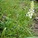 Weiße Waldhyazinthe oder Kuckucksstendel im Gavaduratobel