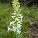"""weiße Waldhyanzinthe """"platanthera bifolia"""""""