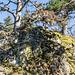 Zwei Bergkiefern krönen den bunt bewachsenen Granit ...