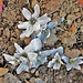 bulbocodium vernum bianco vernate