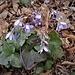 Hepatica nobilis Schreb. <br />Ranunculaceae<br /><br />Erba trinità<br />Hépatique à trois lobes <br />Leberblümchen <br />