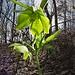 Helleborus viridis L. <br />Ranunculaceae<br /><br />Elleboro verde<br />Hellébore vert <br />Grüne Nieswurz <br />
