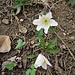 Anemone nemorosa L. <br />Ranunculaceae<br /><br />Anemone bianca<br />Anémone des bois, Anémone sylvie <br />Busch-Windröschen, Wald-Anemone <br />