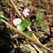 Hepatica nobilis Schreb.<br />Ranunculaceae<br /><br />Erba trinità<br />Hépatique à trois lobes<br />Leberblümchen