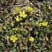 Potentilla verna L. <br />Rosaceae<br /><br />Cinquefoglie primaticcia<br />Potentille du printemps <br />Frühlings-Fingerkraut