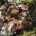 Geranium robertianum L. <br />Geraniaceae<br /><br />Geranio di San Roberto<br />Géranium herbe à Robert <br />Stinkender Storchschnabel <br />