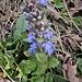 Ajuga reptans L. <br />Lamiaceae<br /><br />Iva comune<br />Bugle rampante <br />Kriechender Günsel <br />