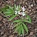 Cardamine heptaphylla (Vill.) O. E. Schulz<br />Brassicaceae<br /><br />Dentaria pennata<br />Dentaire à sept folioles <br />Fiederblättrige Zahnwurz