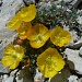 Papaver aurantiacum