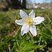 Ein Windröschen freut sich über den Frühling.