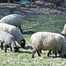 Freundliche Wollproduzenten am Wegesrand.
