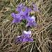 Viola odorata L.<br />Violaceae<br /><br />Viola mammola<br />Violette odorante<br />Wohlriechendes Veilchen