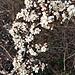 Prunus spinosa L.<br />Rosaceae<br /><br />Prugnolo<br />Epine noire, Prunellier <br />Schlehdorn, Schwarzdorn <br />
