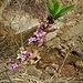 Daphne mezereum L. <br />Thymelaeaceae<br /><br />Dafne mezereo<br />Bois gentil <br />Ziland, Echter Seidelbast, Kellerhals <br />