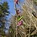 Der Seidelbast beginnt mit der Blüte