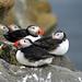 Papageientaucher – die Farbkleckse der nordischen Küsten