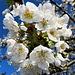 Apfelbaumblüten sind es nicht, sondern Kirsch