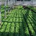 Man kennt ihn, den Lactuca sativa L, aus welchem auch der Kopfsalat gezüchtet worden ist