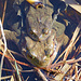 jede Menge Frösche und Kröten im Gäbrisseeli