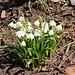 Frühlings-Knotenblume (Leucojum vernum), auch Märzenbecher, Märzbecher, Märzglöckchen oder Großes Schneeglöckchen genannt.