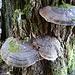 Riesige Baumschwämme an einem uralten Eichenstumpf