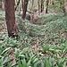 L'Aglio orsino, prossimo alla fioritura, ricopre intere vallette nei pressi delle Sorgenti Pietrificanti.