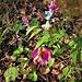 Lathyrus vernus (L.) Bernh. subsp. vernus <br />Fabaceae<br /><br />Cicerchia primaticcia<br />Gesse printanière <br />Gewöhnliche Frühlings-Platterbse <br />