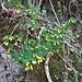 Hippocrepis emerus (L.) Lassen <br />Fabaceae<br /><br />Erba cornetta<br />Hippocrépide buissonnante, Coronille émérus<br />Strauchwicke <br />