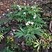 Cardamine heptaphylla (Vill.) O. E. Schulz <br />Brassicaceae<br /><br />Dentaria pennata<br />Dentaire à sept folioles <br />Fiederblättrige Zahnwurz <br />