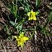 Euphorbia verrucosa L. <br />Euphorbiaceae<br /><br />Euforbia verrucosa<br />Euphorbe verruqueuse<br />Warzige Wolfsmilch <br /><br />