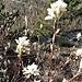Amelanchier ovalis Medik<br />Rosaceae<br /><br /> <br />Pero corvino<br />Amélanchier <br />Felsenmispel, Felsenbirne