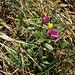 Polygala chamaebuxus L.<br />Polygalaceae<br /><br />Poligala falso bosso<br />Polygale petit buis<br />Buchsblättrige Kreuzblume
