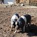 """Glückliche Schweine, laut wikipedia lautet die Rasse Deutsches Sattelschwein wegen des weißen """"Sattels"""""""