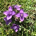 ... und den im Gras leuchtenden Enzianen ...