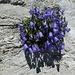 nach diesen aus einer Stein-Beton-Ritze wachsenden Glockenblumen ...