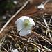 Im Wallis gibt es häufig weisse Leberblümchen