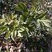 Le peonie della Costa d'Avign al legnone