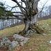 Prächtige Weidebuche, wie sie im Hochschwarzwald häufig anzutreffen sind. Einzelne Stämme verwachsen im Laufe der Zeit zu einem Stamm