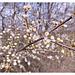mit vereinzelten Blüten ist zu rechnen