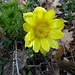 Wunderschönes Frühlings-Adonisröschen