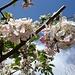 Apfelblüten in Saxon