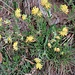 Anthyllis vulneraria L. <br />Fabaceae<br /><br />Vulneraria comune<br />Anthyllide vulnéraire<br />Echter Wundklee  <br />