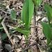 Convallaria majalis L. <br />Asparagaceae<br /><br />Mughetto<br />Muguet <br />Maiglöckchen, Meierisli