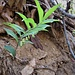 Polygonatum odoratum (Mill.) Druce Asparagaceae<br /><br />Sigillo di Salomone comune<br />Sceau de Salomon officinal <br />Echtes Salomonssiegel, Gebräuchliche Weisswurz