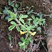 Chamaecytisus hirsutus (L.) Link <br />Fabaceae<br /><br />Citiso peloso<br />Petit cytise velu <br />Behaarter Zwergginster <br />