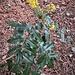 Mahonia aquifolium (Pursh) Nutt. Berberidaceae<br /><br />Maonia<br />Mahonie<br />Mahonie <br />