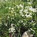 Arabis alpina L. subsp. alpina <br />Brassicaceae<br /><br />Arabetta alpina<br />Corbeille d'argent, Arabette des Alpes <br />Alpen-Gänsekresse