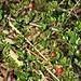 Cotoneaster horizontalis Decne. <br />Rosaceae<br /><br />Cotognastro orizzontale<br />Cotonéaster horizontal <br />Korallenstrauch, Fächer-Steinmispel