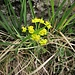 Euphorbia cyparissias L. <br />Euphorbiaceae<br /><br />Euforbia cipressina<br />Euphorbe petit cyprès <br />Zypressenblättrige Wolfsmilch <br />